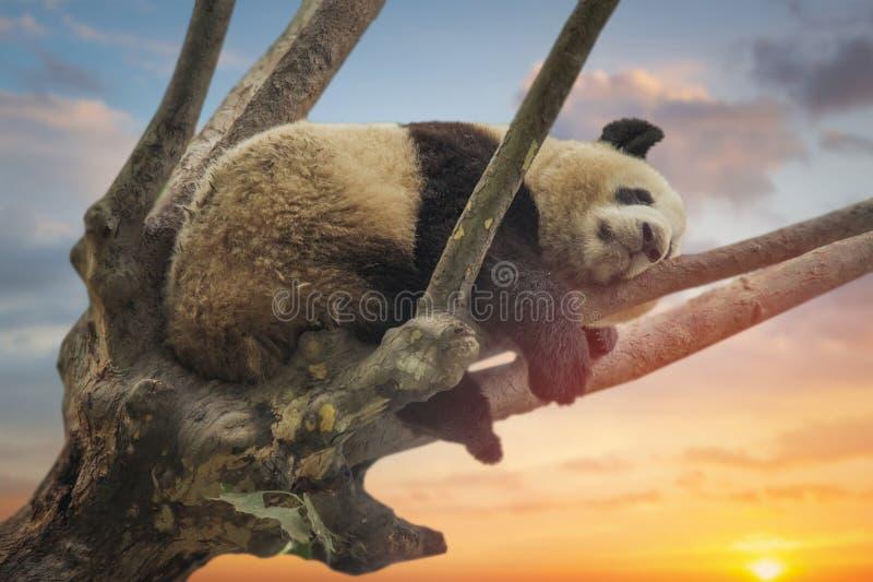 Large panda resting on a tree stock photos
