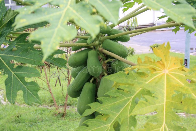 Large papaya fruits grow on the tree. Thailand rains royalty free stock photos