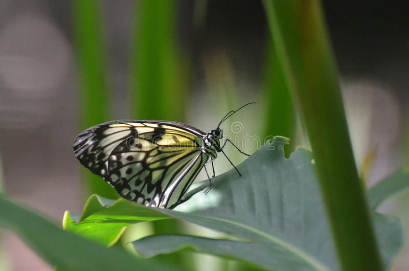 Large Paper Kite Butterfly on a Green Leaf stock photography