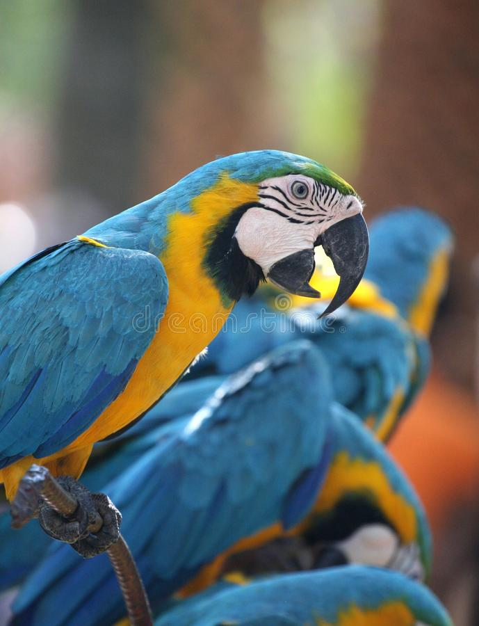 Large parrot blue-and-yellow macaw royalty free stock image