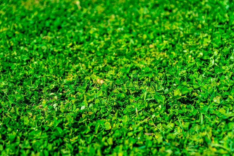 Clover field 4 royalty free stock image