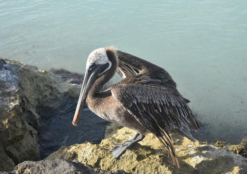 Large pelican opening its wings on the coast stock photo