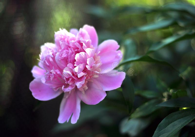 Large peony flower on a green background stock photos