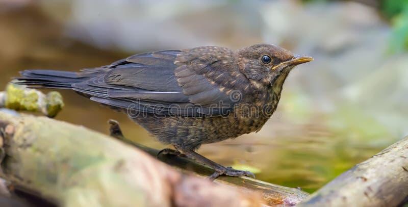 Big image of juvenile Common blackbird near a water pond stock image