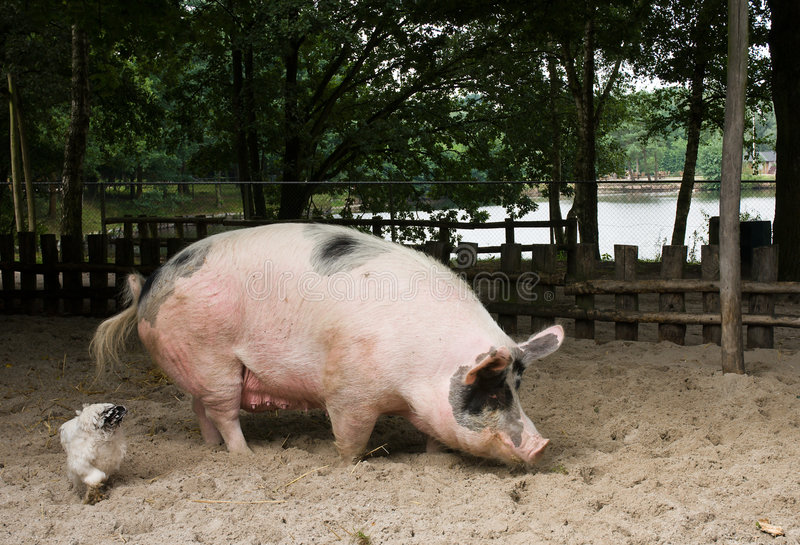 Large pig looking for food. A huge pink pig is looking for food together with some chickens royalty free stock photos