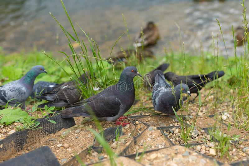Large pigeons walk near the river. Large fat pigeons walk near the river on green grass royalty free stock photos