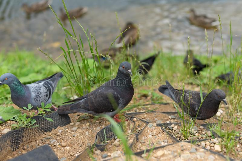 Large pigeons walk near the river. Large fat pigeons walk near the river on green grass royalty free stock image