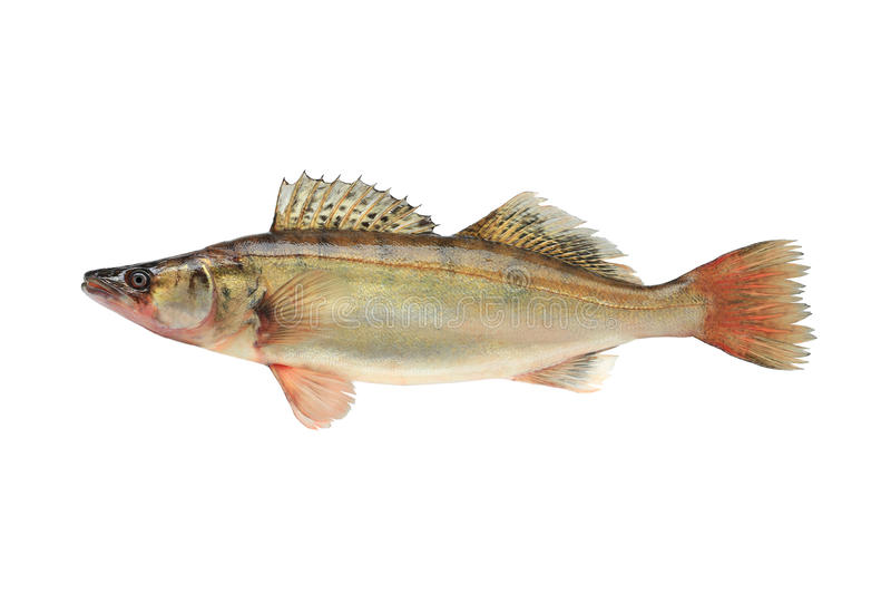 Large pike perch royalty free stock photo
