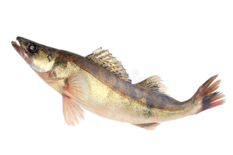 Large pike perch. Isolated on a white background royalty free stock image