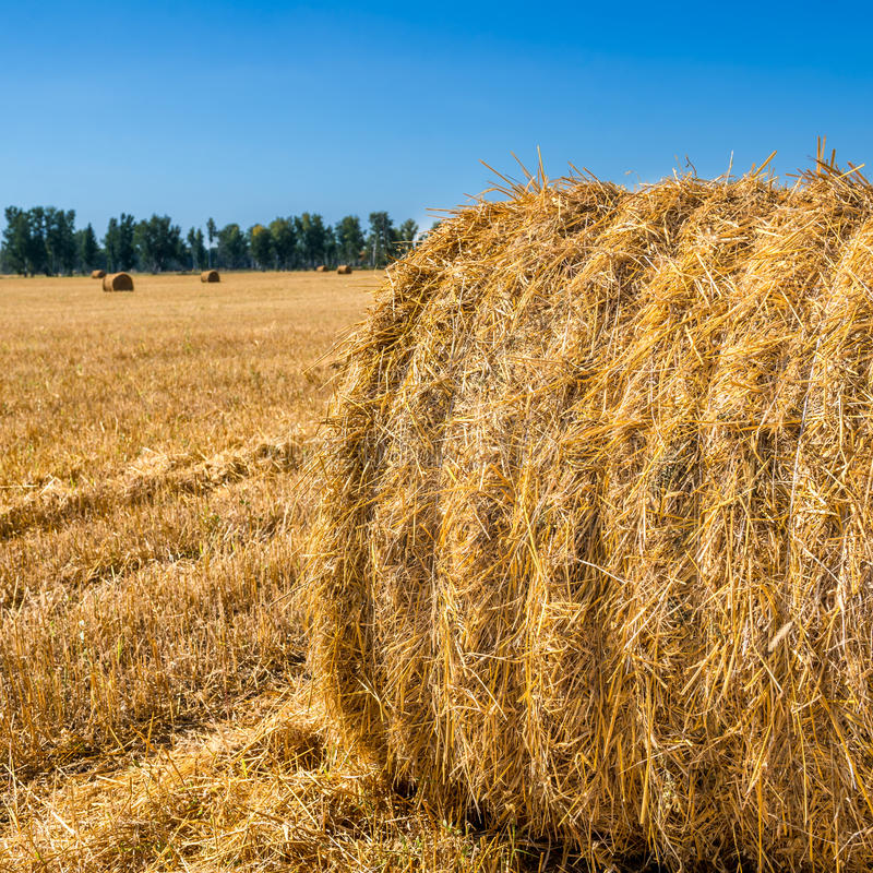 Download Large Piles of Hay Bales stock photo. Image of golden - 78983854