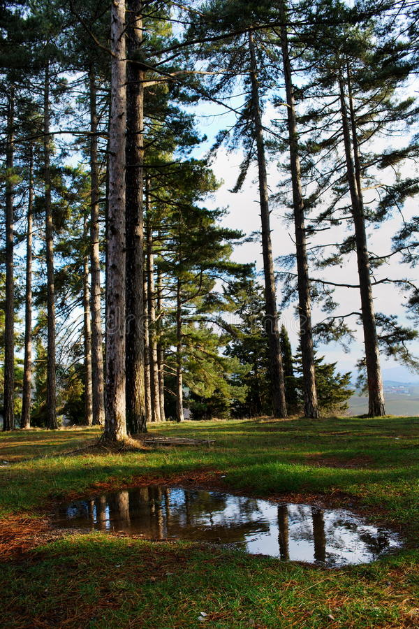 Download Large pine trees stock image. Image of trunk, water, landscaped - 12875115