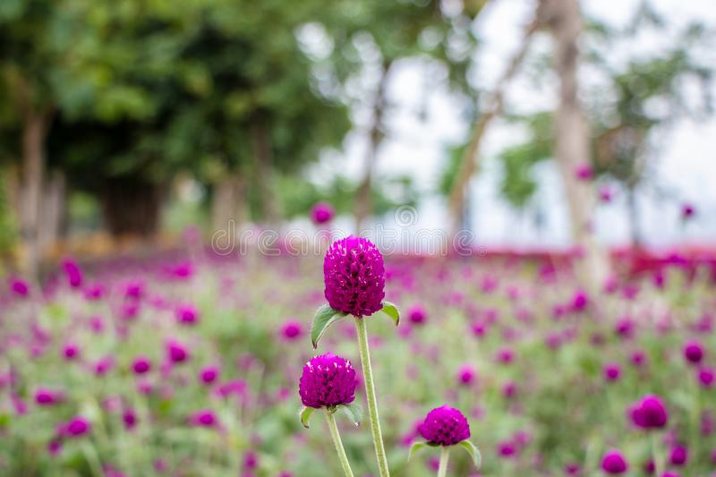 Large pink flower on a green stalk. Macro photography of a terry flower, green leaves. Pink flower in nature royalty free stock photography