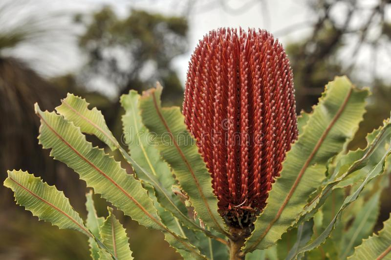 Large pink-red acorn shaped flower of the popular species Banksia Menziesii, growing in a natural enviroment. stock images