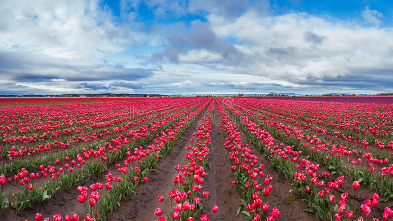 Large pink tulip field in beautiful sky.  royalty free stock image