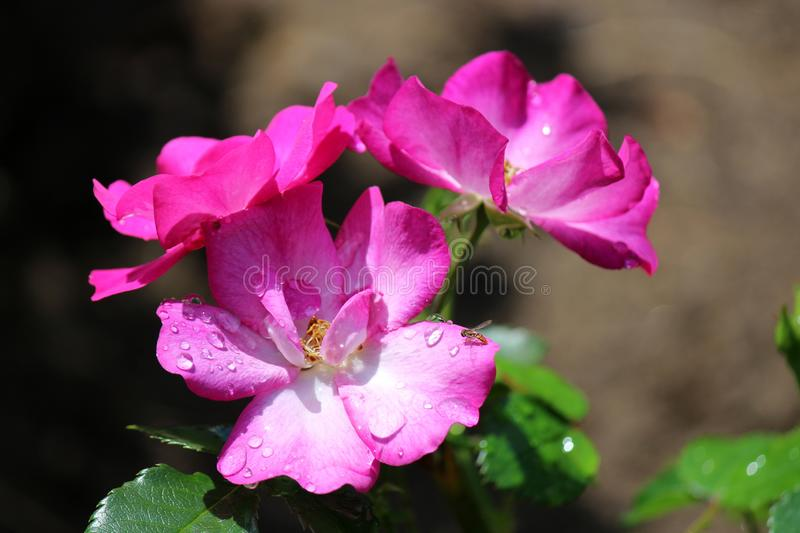 Bright pink and white flowers with bright yellow center covered with morning dew in backyard garden stock photos