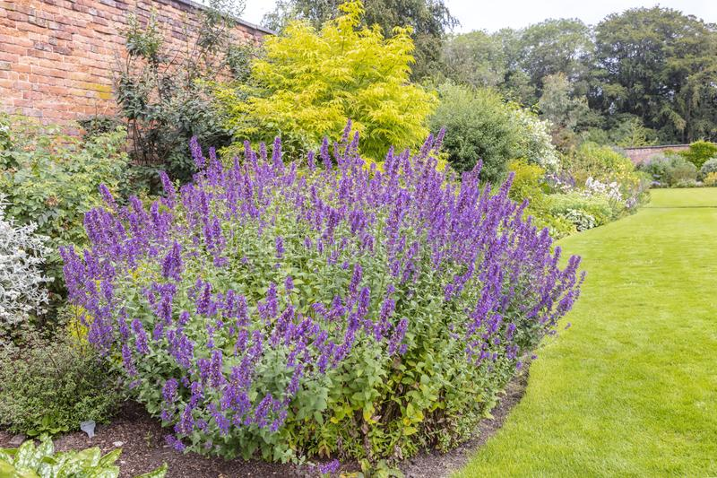 Purple catmint flowering plant in a garden. Large plant of purple cat-mint Nepeta cataria in a herbaceous border of an established garden royalty free stock image