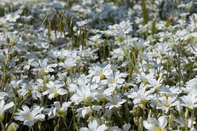 A large plantation of densely growing blooming white flowers in a flower bed near the house.  stock image