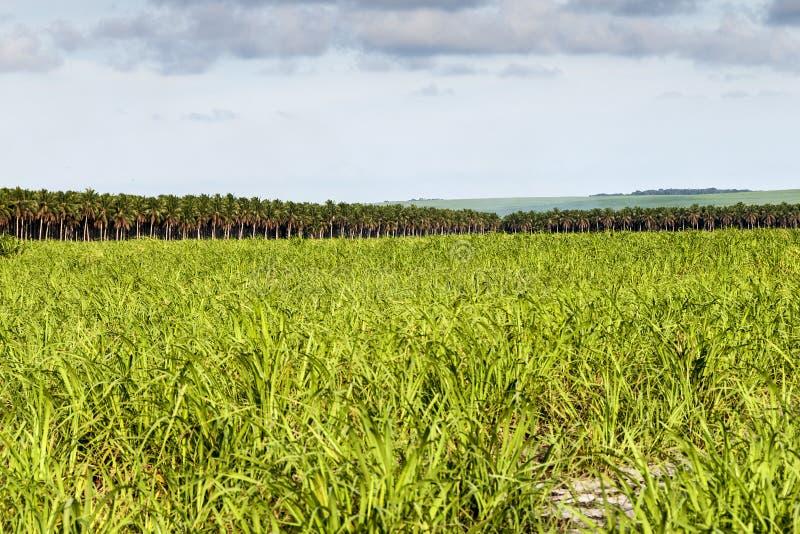 Large Plantation Of Sugarcane And Coconut Stock Images