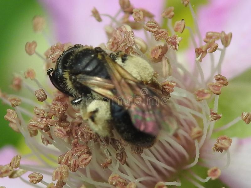Pollinator. Large pollen crop royalty free stock photos