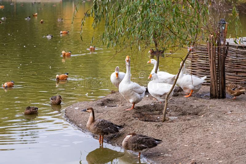 Lake in migratory birds royalty free stock images