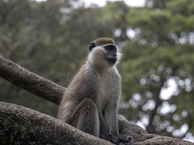 Large population of Green Monkey, Chlorocebus aethiops, lives on Lake Awassa, Ethiopia. A large population of Green Monkey, Chlorocebus aethiops, lives on Lake royalty free stock photography
