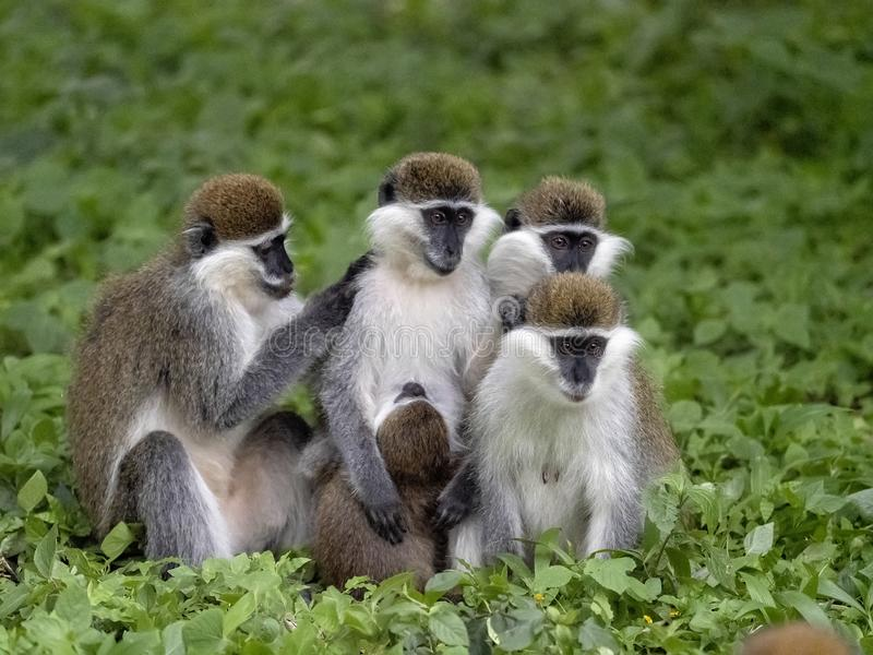 Large population of Green Monkey, Chlorocebus aethiops, lives on Lake Awassa, Ethiopia. A large population of Green Monkey, Chlorocebus aethiops, lives on Lake royalty free stock photos