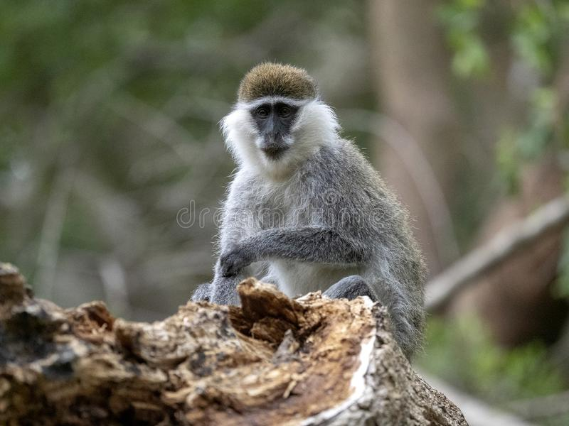Large population of Green Monkey, Chlorocebus aethiops, lives on Lake Awassa, Ethiopia. A large population of Green Monkey, Chlorocebus aethiops, lives on Lake stock photography
