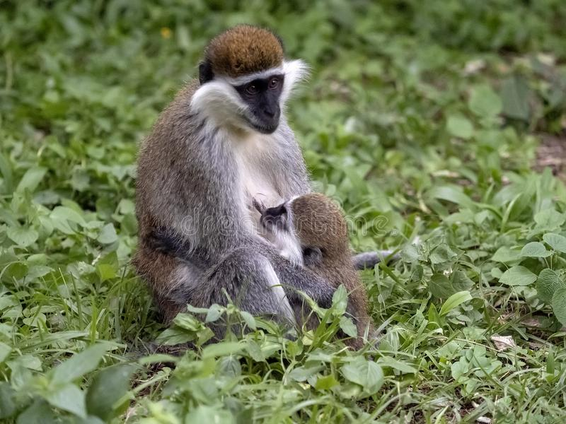 Large population of Green Monkey, Chlorocebus aethiops, lives on Lake Awassa, Ethiopia. A large population of Green Monkey, Chlorocebus aethiops, lives on Lake royalty free stock photo