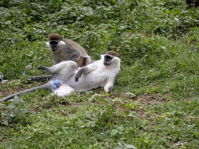 Large population of Green Monkey, Chlorocebus aethiops, lives on Lake Awassa, Ethiopia. A large population of Green Monkey, Chlorocebus aethiops, lives on Lake royalty free stock photos