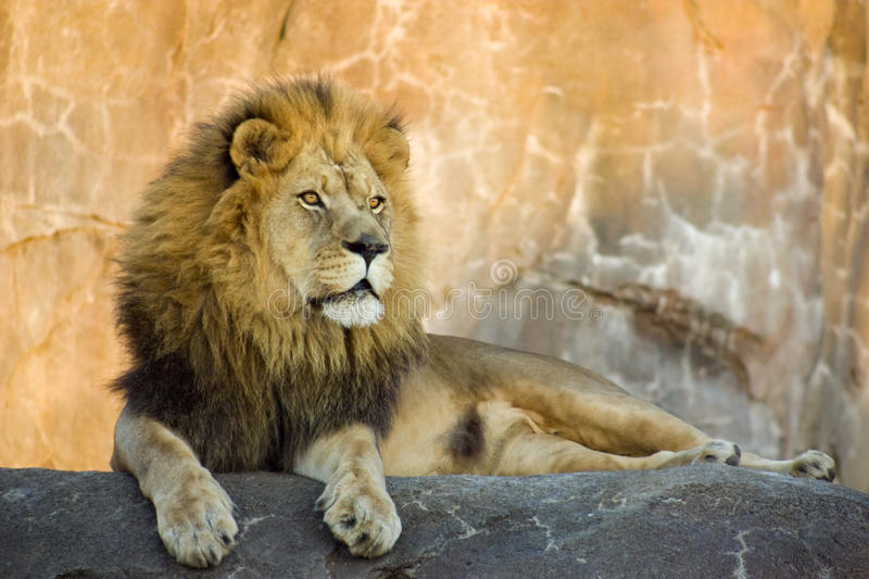 A Large Powerful Lion Rests On Tall Boulder At Sun Royalty Free Stock Photography