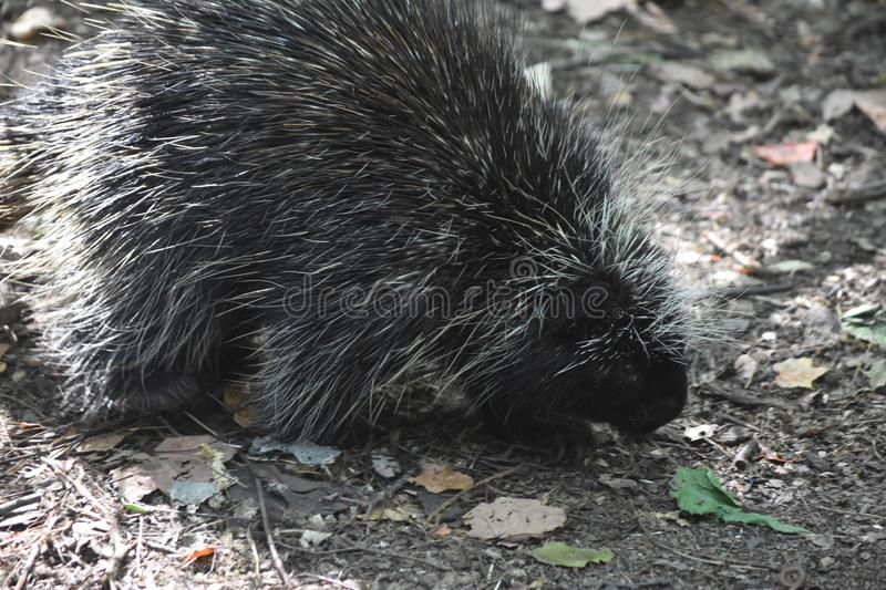 Large prickly porcupine sniffing a leaf on the ground. Cute porcupine sniffing the ground royalty free stock images