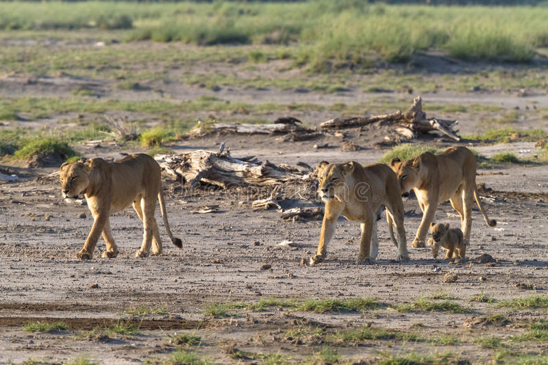 A large pride of lions in the savannah Amboseli. Kenya stock photography