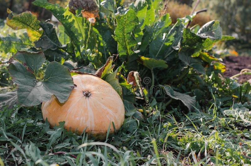 A large pumpkin lies on the green grass on a sunny day.  royalty free stock photo