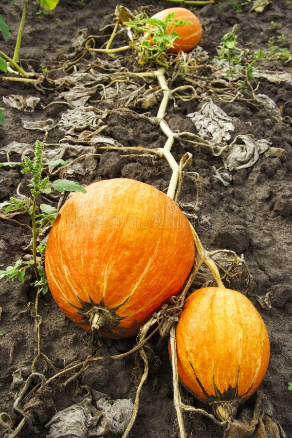 Large pumpkins that lie on the ground. Autumn harvest. Billets for Halloween royalty free stock photo