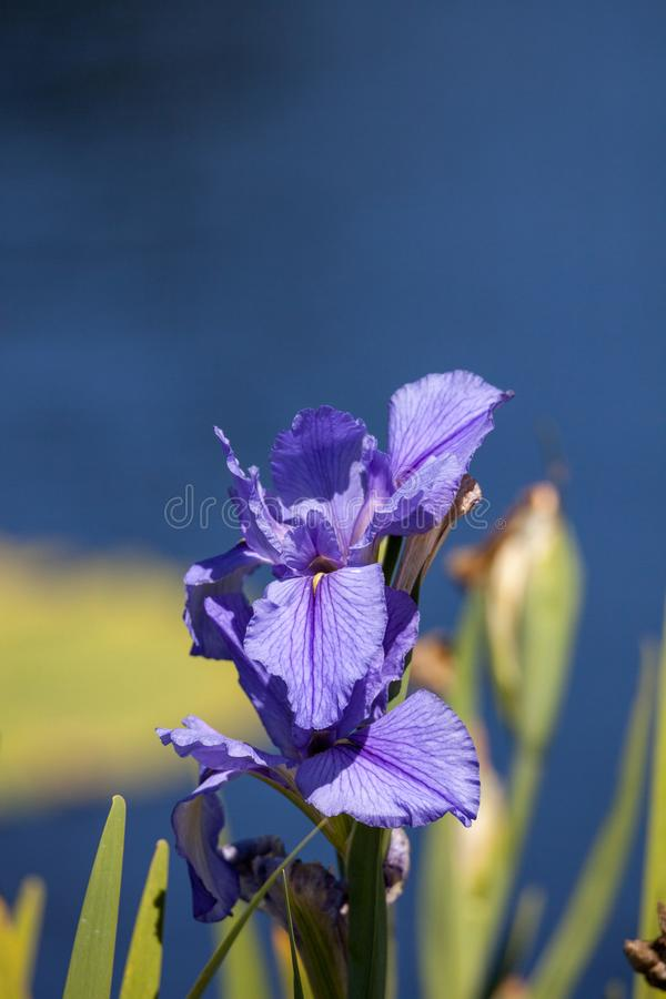 Large purple Bearded Iris Iris germanica flower. Blooms in a water garden in Naples, Florida royalty free stock photography