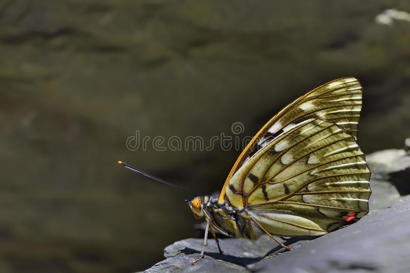 Large purple butterfly in water. Butterfly from the Taiwan (Sasakia charonda) Large purple butterfly in water royalty free stock photos