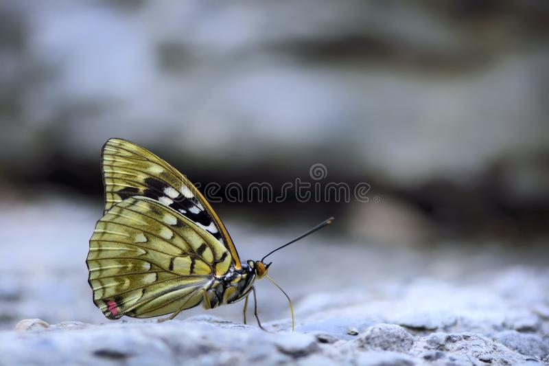 Large purple butterfly in water. Butterfly from the Taiwan (Sasakia charonda) Large purple butterfly in water stock image