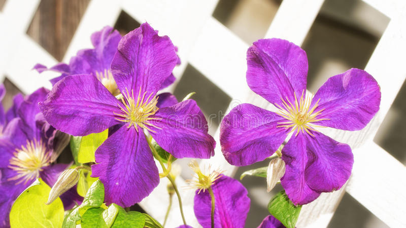 Large purple Clematis blooms. Growing againt white latticeboard in evening sun stock image