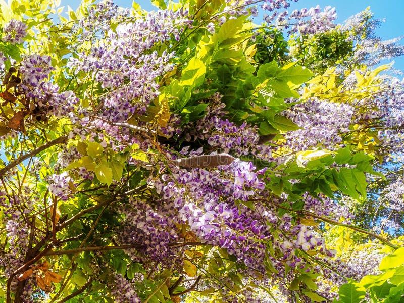 Wisteria Wisteria sinensis. Large purple clusters of wisteria Wisteria sinensis blooming in the spring stock photo