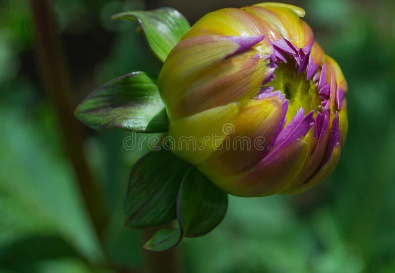 A large purple dahlia bud stock photos