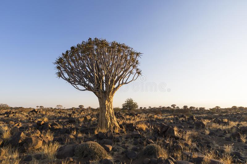 Large quiver tree in rocky arid country stock photo