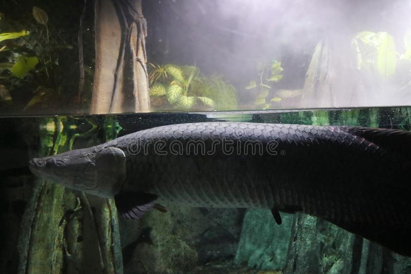 A large rare fish swims underwater in a humid tropical forest stock image