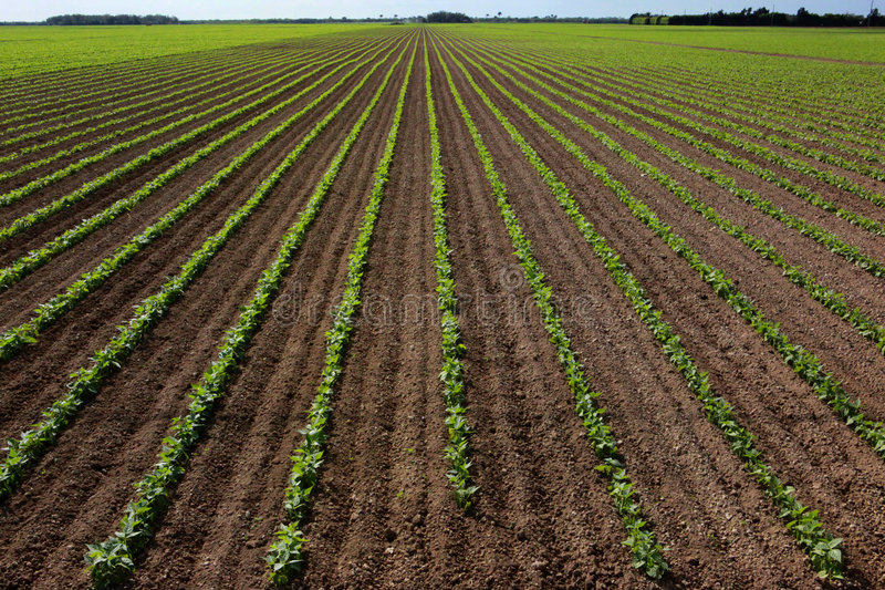 Large red bean field royalty free stock photography