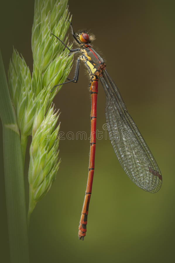 Download Large Red Damselfly stock photo. Image of creature, closeup - 25513660