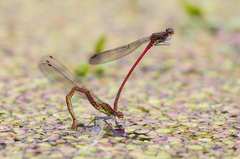 Download Large red damselfly stock image. Image of pond, eggs - 50753713