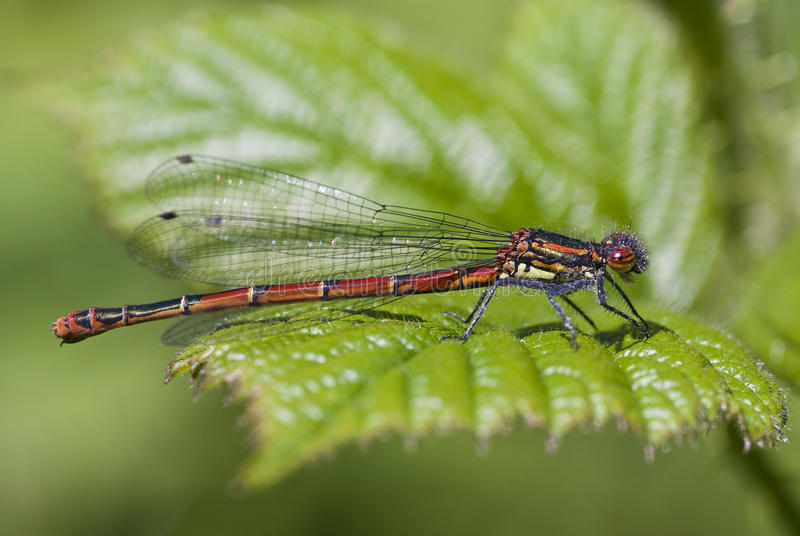 Large Red Damselfly (Pyrrhosoma nymphula)