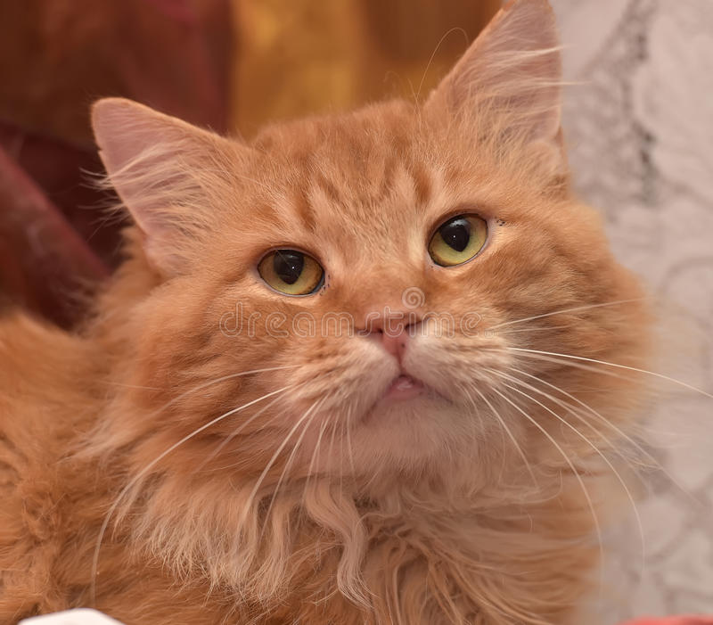 Large red fluffy housecat. Portrait royalty free stock photography