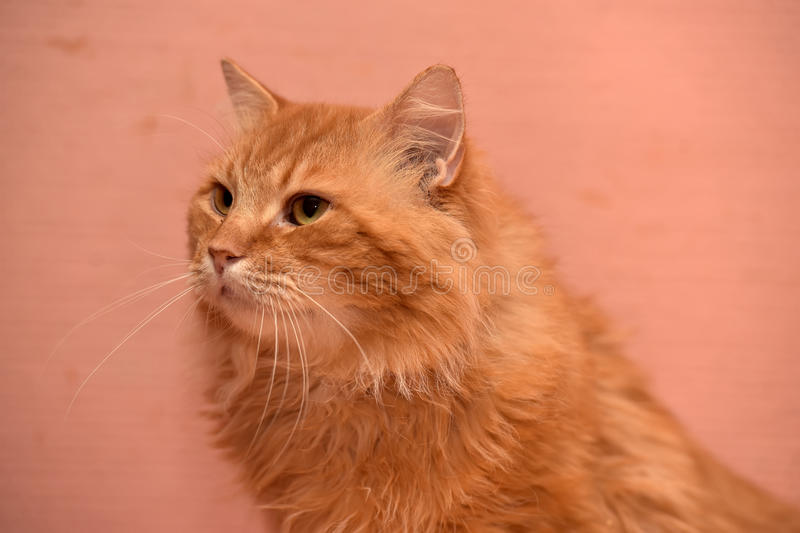 Large red fluffy housecat. Portrait stock image