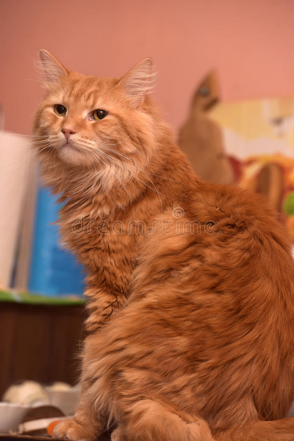 Large red fluffy housecat. Portrait stock photos
