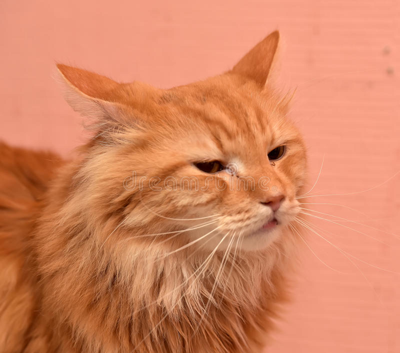 Large red fluffy housecat. Portrait stock images
